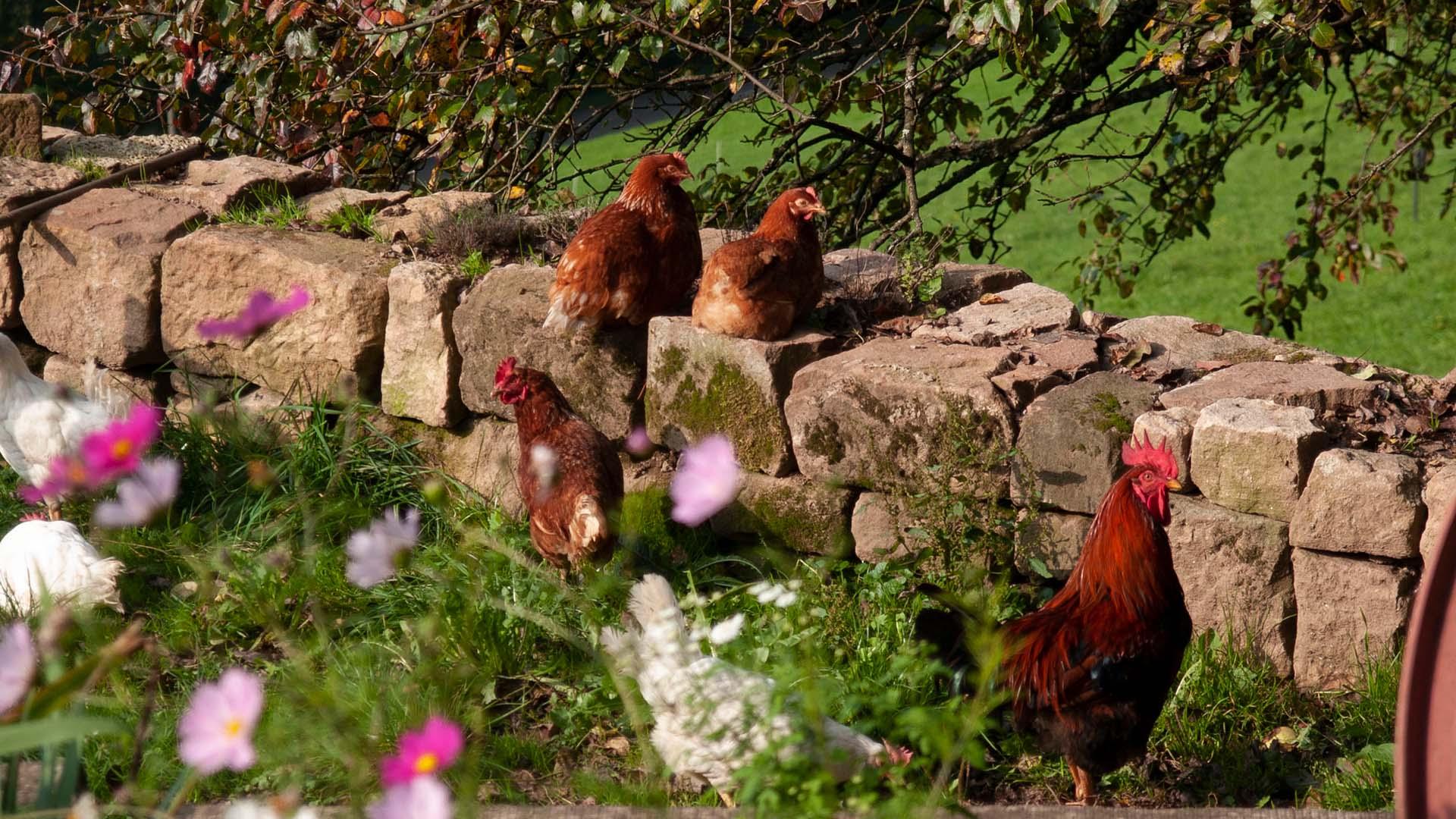 Ferienhaus am Schönwasen - Freilandhühner