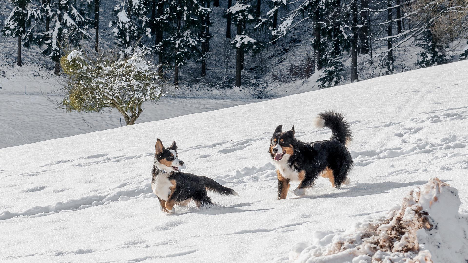 Ferienhaus am Schönwasen - Hofhunde im Schnee